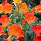 10 seeds SUNSET BOULEVARD PRIMROSE Orange