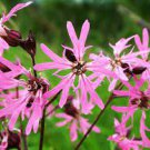 RAGGED ROBIN Pink Purplish Lychnis Flos bulk 100 seeds
