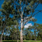 25 seeds RED FOREST GUM TREE Eucalyptus Tereticornis