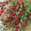 100 STRAWBERRY STICKS / SPINACH Chenopodium Foliosum