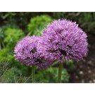 Allium Giganteum Flower Seeds 25 seeds per pack