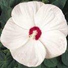 Big Flower Fresh white HIBISCUS Moscheutos Flower 25 seeds