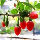 High Germation Himalayan Tibetan GOJI BERRY 100 seeds