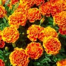 Most Sold Fresh FRENCH MARIGOLD SPARKY 400 seeds