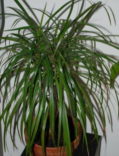 Blue dracaena spike cordyline indivisa 25 seeds