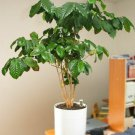 Plant your own ARABICA COFFEE tree 15 seeds