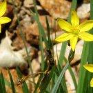 Sisyrinchium striatum (Pale Yellow-Eyed Grass) 10 seeds