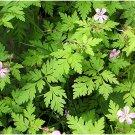 Herb-Robert (Geranium robertianum) 30 seeds per pack