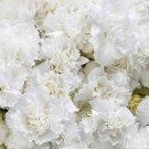 Dianthus Caryophyllus SCARLET white CARNATION 50 seeds