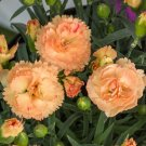 Dianthus Caryophyllus SCARLET Orange CARNATION 50 seeds