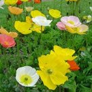 Super sell bulk 2500 seeds MIXED COLORS Papaver Nudicaule