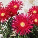 Gelato Bright 100 seeds Ice Plant