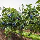 Sweet Northern Highbush Blueberry 50 seeds garden plant