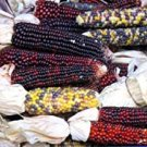 INDIAN MINI MIX CORN 50 seeds vegetable seeds
