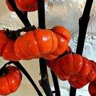 RED RUFFLED EGGPLANT Pumpkin 25 seeds