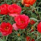 Red Moss rose PORTULACA Grandiflora 100 seeds