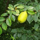 Fruit Tree Chinese Quince 20 seeds