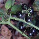 Sunberry Solanum Burbankii Fruit Berry 100 seeds