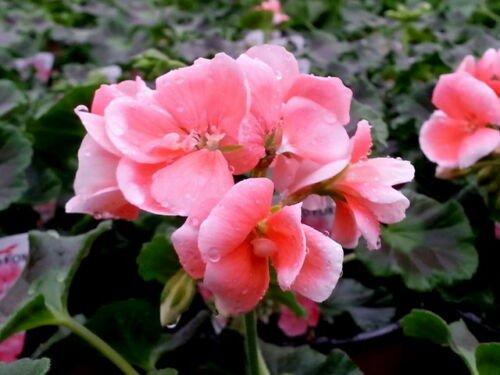 GERANIUM flower Pink & White Pelargonium 10 seeds pinto rose
