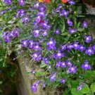 Purple Blue Lobelia Regatta Erinus Flower 200 Seeds
