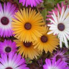 Mixed color ICE PLANT mesembryanthemum LIVINGSTONE 200 seeds