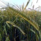 Winter Plant Secale Cereale Grain Cover Crop 300 Seeds