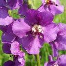Wonderfull Purple Mullein Nectar Flower 50 Seeds