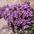 Purple Saxifraga 50 seeds rose robe Rockfoil Flower Seeds