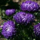 ASTER Callistephus Unicom Fresh DARK BLUE 30 seeds