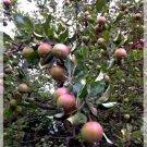 Sweet Fuji Apple Tree 10 seed per pack