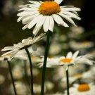 Chrysanthemum Fresh Ox Eye Daisy Marguerite 2000 seeds