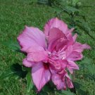 Dark Pink Double Rose Of Sharon Hibiscus Syriacus 50 seeds Flower