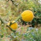 Citrus Hardy Orange Tree Fruit 5 Seeds