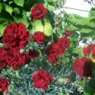 Carnation- Chabaud Red Black 50 flower seeds