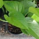 Jade Green tropical Indoors & Outdoors plants ~ well rooted 4
