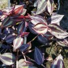 Wandering Jew 3 Cuttings Tradescantia Plant 5 inches or more