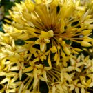 Dwarf YELLOW IXORA Live Plants 2 TO 4 INCHES TALL