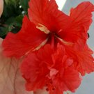 Exotic Red Lion Tail Hibiscus Indoor Live Plants 2 TO 4 INCHES TALL