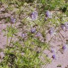 BLUE SURPRISE Orientalis Azura Herb Flower 20 Seeds