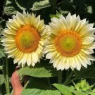 White Lite Sunflower 20 seeds US Only