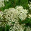 Filipendula Queen of Meadow native Praire 20 seeds White MEADOWSWEET