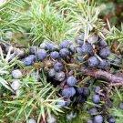 Organic Seeds COMMON JUNIPER Juniperus Communis Tree Shrub
