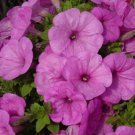 Better In Rain Lilac Trailing Petunia 25 Pelleted Seeds