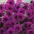 Trilogy Purple Trailing Petunia 25 Pelleted Seeds