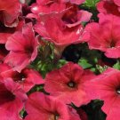 Easy Wave Berry Velour Trailing Petunia 25 Pelleted Seeds
