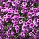 Easy Wave Plum Veined Trailing Petunia 25 Pelleted Seeds