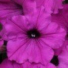 Easy Wave Violet Trailing Petunia 25 Pelleted Seeds