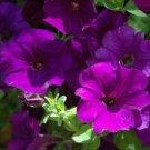 Opera Supreme Blue Trailing Petunia 25 Pelleted Seeds