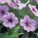 Opera Supreme Lilac Ice Trailing Petunia 25 Pelleted Seeds