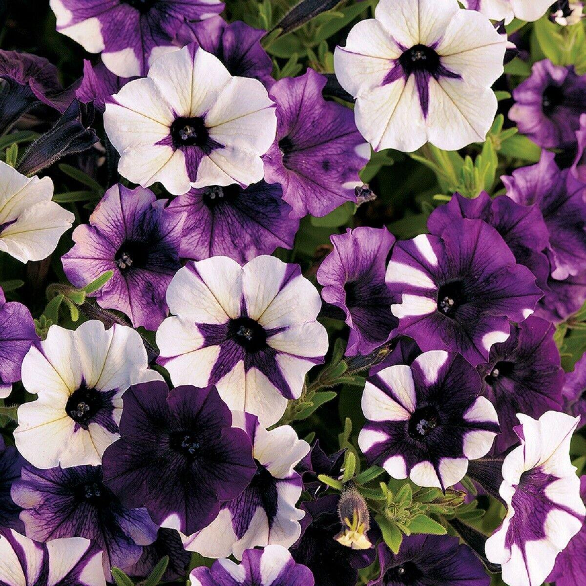 Shock Wave Purple Tie Dye Trailing Petunia 25 Pelleted Seeds